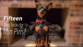 15 Dog Tricks for Min Pins