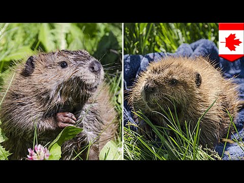 Cute animals: Canada's lonely beaver makes a new friend at Alberta Conservation Centre - TomoNews