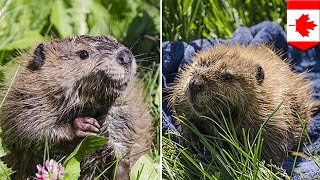 Cute animals  Canada's lonely beaver makes a new friend at Alberta Conservation Centre   TomoNews