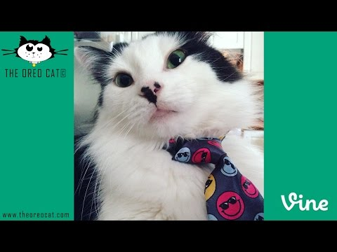 Thumbnail for Cat Video The Oreo Cat: Vine Compilation
