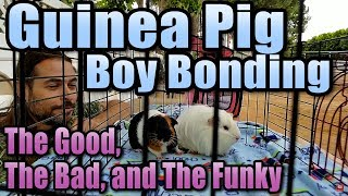 Guinea Pig Boy Bonding - The Good, The Bad, and The Funky
