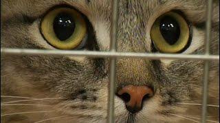 В клиники Красноярска массово поступают коты, объевшиеся новогодних украшений