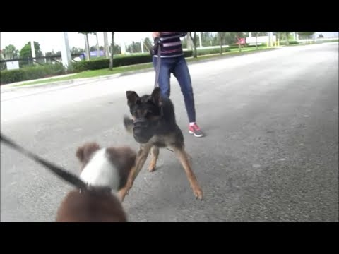 Dog Aggressive and Duck Aggressive German Shepherd!