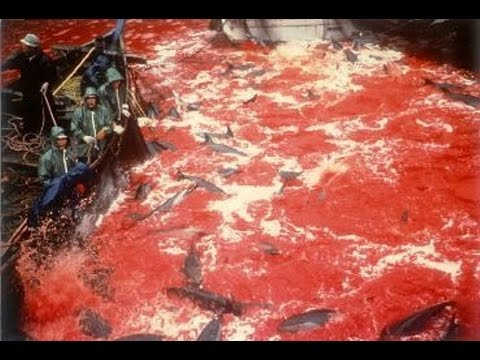 Japan ignores UN and keep killing whales to extinction