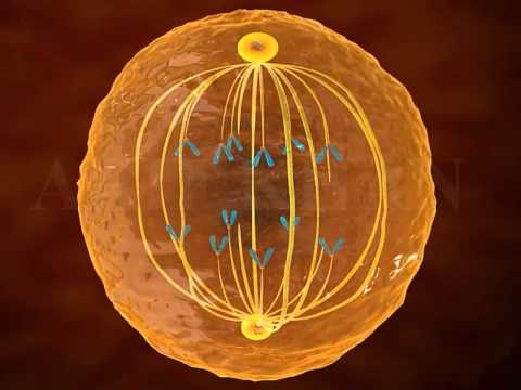 mitosis 3d animation |Phases of mitosis|cell division