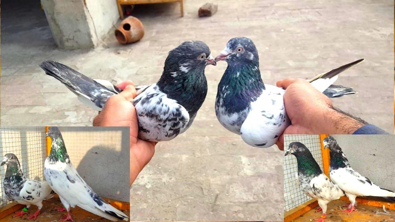 Taddy | Motiyo Waly | 35 Waly | Qasori Pair || Hashim Mahmood Pigeons