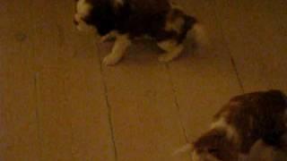 Kennel Funkels Puppies - Cavalier King Charles Spaniel Kennel Puppies 4 Weeks Old (1)