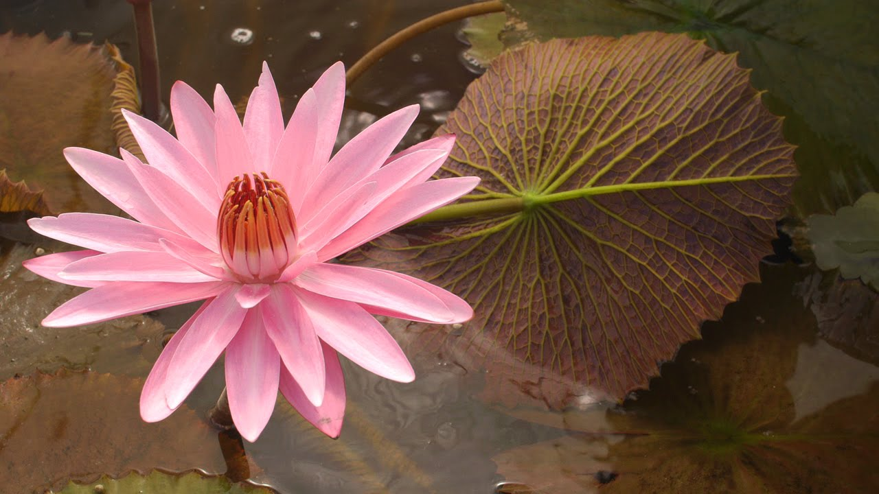 Tropical water lilies emily grant lily 46 youtube tropical water lilies emily grant lily 46 izmirmasajfo Images