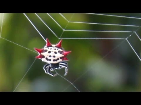 Long Horned Orb Weaver is listed (or ranked) 4 on the list Rare And Bizarre Spiders That Will Capture Your Imagination And Haunt Your Dreams