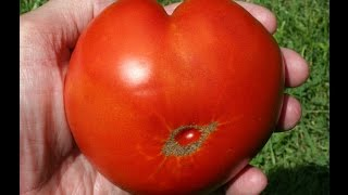 Our Brandywine Red Tomato Throughout The Summer.