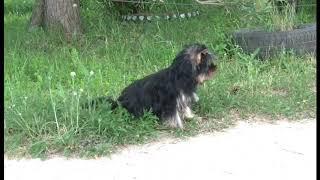 Щенки йоркширского терьера в Москве. Купить щенка йорка недорого в питомнике. Мини собачки.