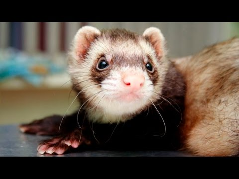 Ferret Pet - Funny And Cute Ferrets Compilation 2016