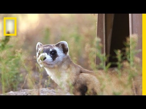 Releasing Ferrets Into Their Prairie Home | National Geographic
