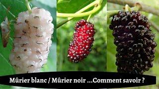 MÛRIER BLANC, MÛRIER NOIR : COMMENT SAVOIR ?