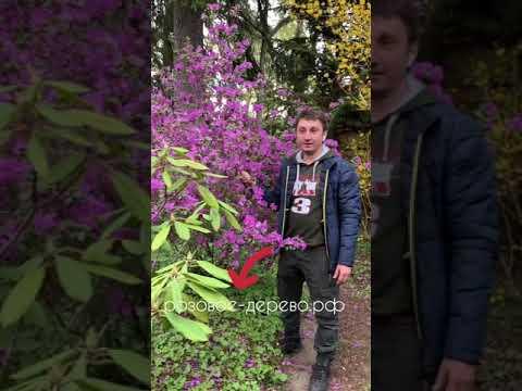 Рододендрон Ледебура(Даурский) Багульник