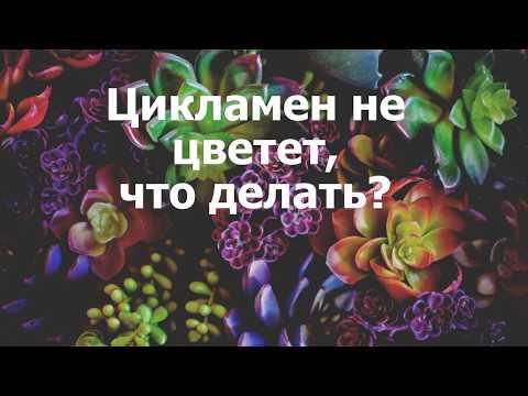 Цикламен не цветет, что делать?