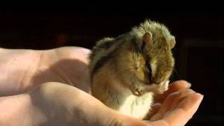 Super Cute Chipmunk in Slow Motion (Sagittarius)