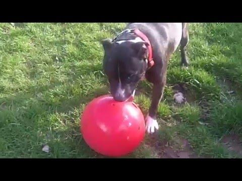 Staffordshire Bull Terrier Raver Rex.