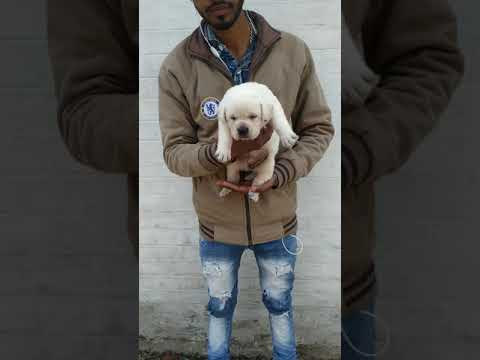 Patna Labrador puppies so cute doggie pure and sure male and female best quality || Pet & Dog House