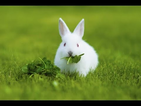 wacth This,Beautiful White Rabbit Eating Leafs....