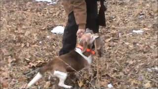 Rabbit Hunt With A Retrieving Beagle!