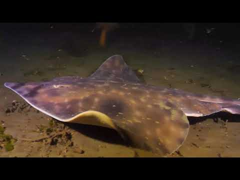 Diving With A Pacifig Big Skate