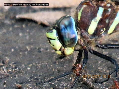Watch the red ants army attack the huge dragonfly