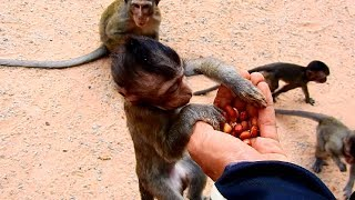Supper Hungry Orphan Baby Monkey Lizza! Baby No milk since Mother Gone! Lizza get food!