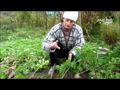 Выращивание сельдерея на даче: