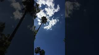hollywood-palm-trees
