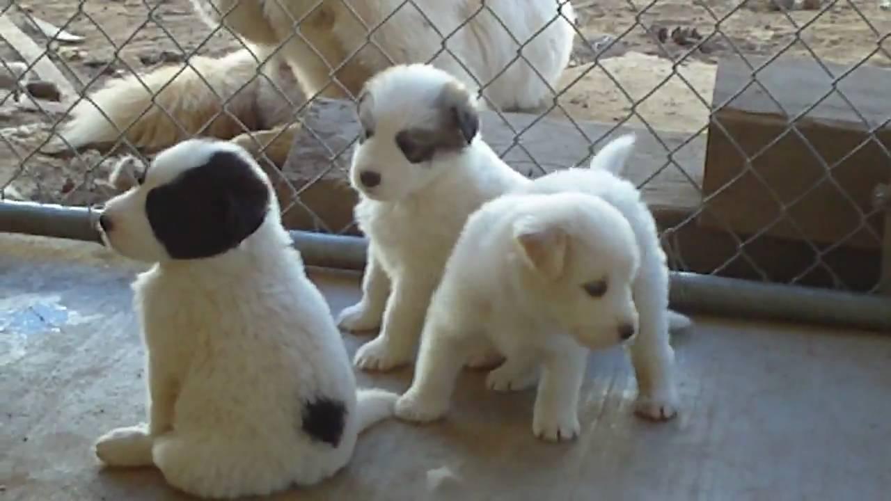 Rambo & Mya's Husky Newfoundland Mix Puppies - YouTube