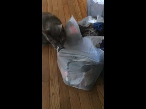 pizza the cat loves to lick plastic bags youtube