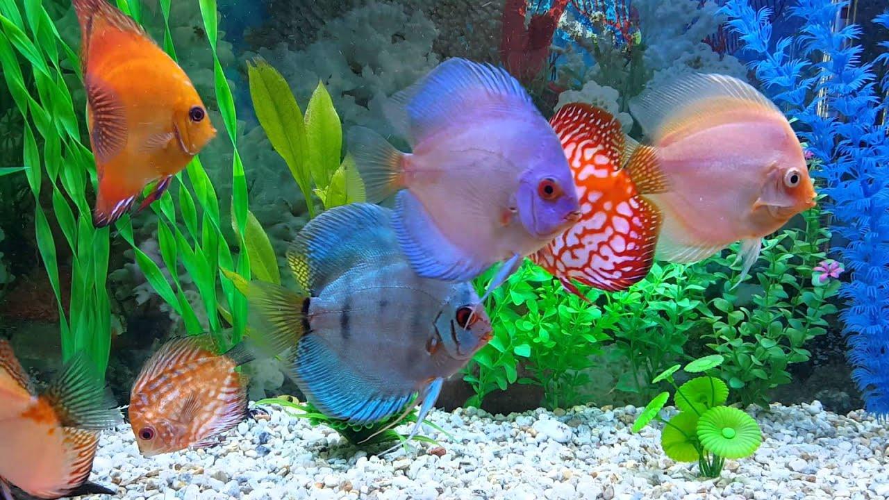 peces disco acuario de 300 litros youtube
