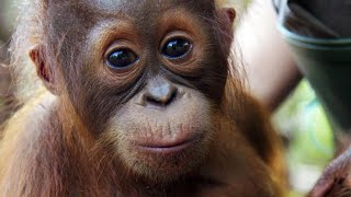 This Baby Orangutan Needs Treatment for Her Asthma