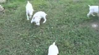 A.K.C. White Doberman Puppy