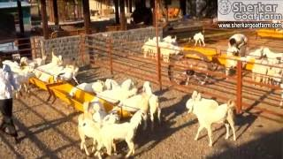 SHERKAR GOAT FARM I| BEST GOAT FARM IN MAHARASHTRA