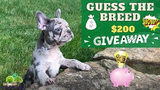 Guess the breed: French Bulldog vs. Frenchton  $200  GIVEAWAY