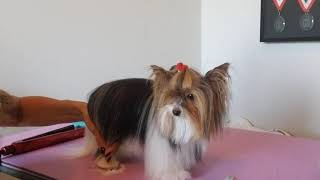 Biewer Terrier: Learn to Groom Beveled Feet on the Newest Breed Recognized By the AKC