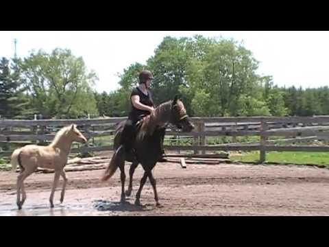 Gaited Rocky Mountain Mare For Sale In Ontario - Bonnie Views Mercedes - First Ride Since Foaling