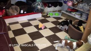 Little Rascals Uk Breeders New Litter Of Pure Cavalier King Charles Puppies - Puppies For Sale UK