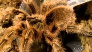 New!  Grammostola Sp. Maule - Chilean Orange Fluff Tarantula