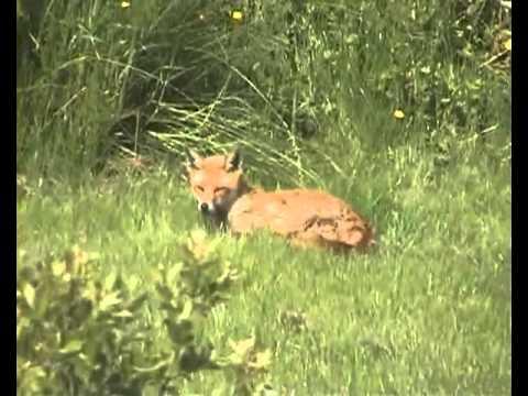 Fox avi