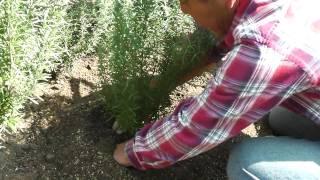 ガーデンにローズマリーを植えました。 ガーデン周辺の気候ですと、 9...