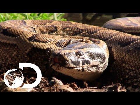 The Terrifying Man Eating Super Snake