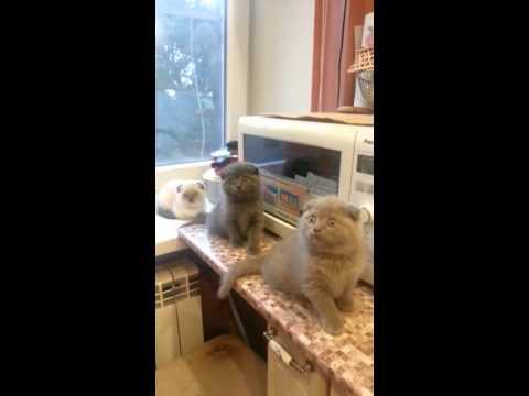 Питомник элитных британских кошек в москве предлагает шикарных британских котят, возраст от 2 месяцев, голубого окраса настоящие медвежата, хорошая родословная без примесей скоттиш-фолдов (вислоухих ), используем новейшие линии разведения германии-голландии, устойчивая психика,