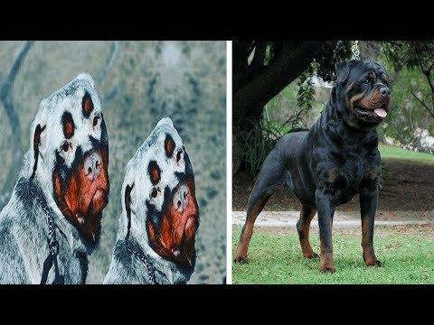 5 Tipos De Rottweilers Que No Creerás Que Existen