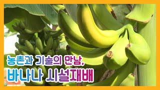 농촌과 기술의 만남, 바나나 시설재배