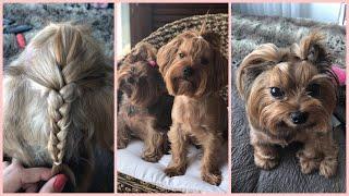 Köpek Bakımı | Mia ve Leo | Yorkshire Terrier | Melis Palalı