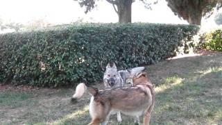 Cane lupo cecoslovacco, prima dell