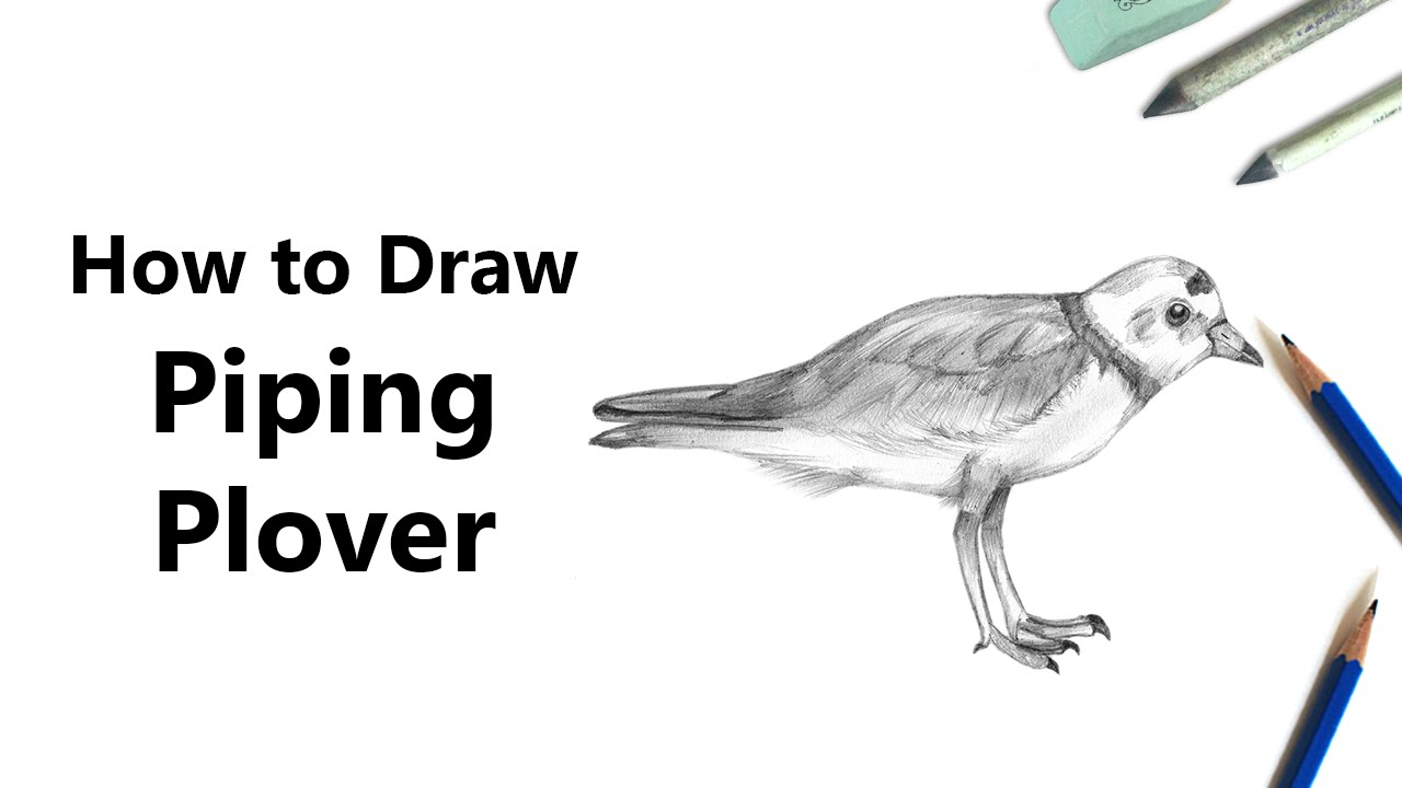 How to Draw a Piping Plover with Pencils [Time Lapse
